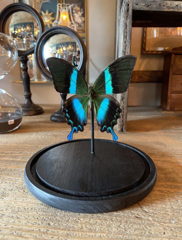 Papillon Blumei sous dôme cerise noire