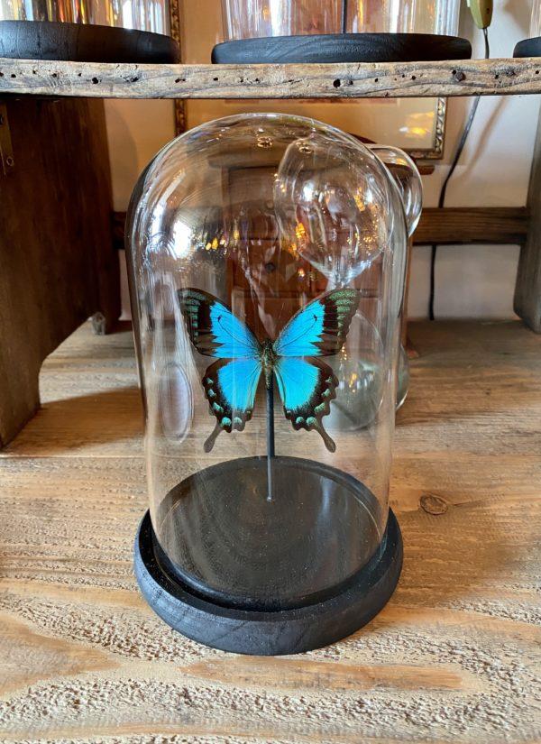 papillon lorquinianus sous dôme Cerise Noire