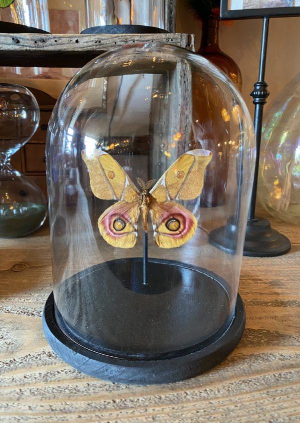 Papillon Anterina Suraka cerise noire