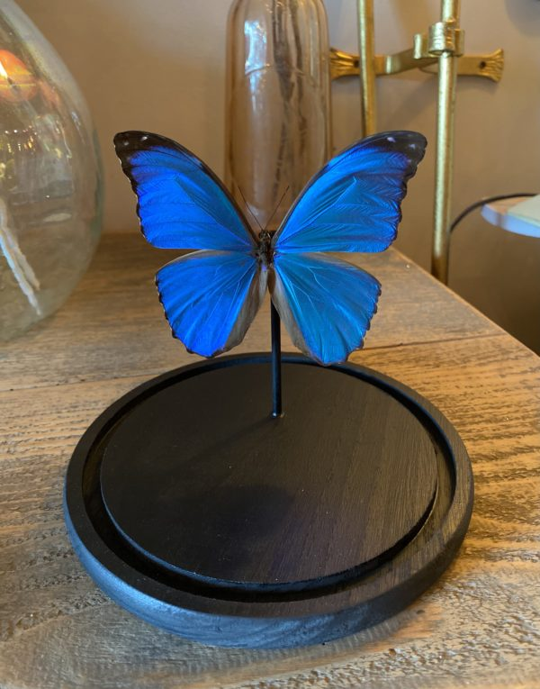 papillon morpho menelaus cerise noire