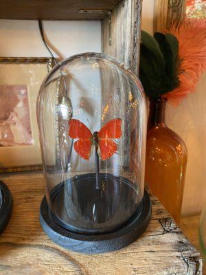 Papillon Sangaris sous dome Cerise Noire