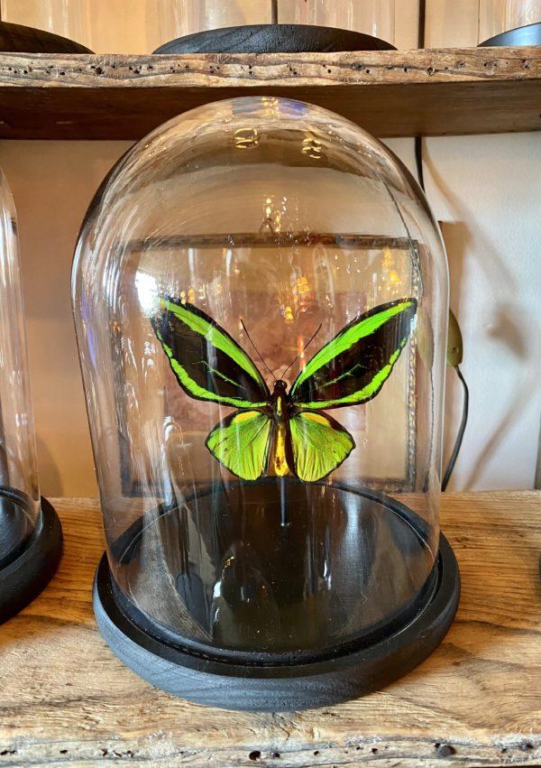Papillon ornithoptera priamus atropos cerise noire