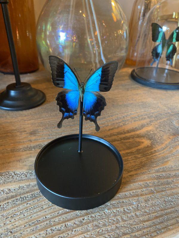 Papillon Pericles sous dôme Cerise Noire